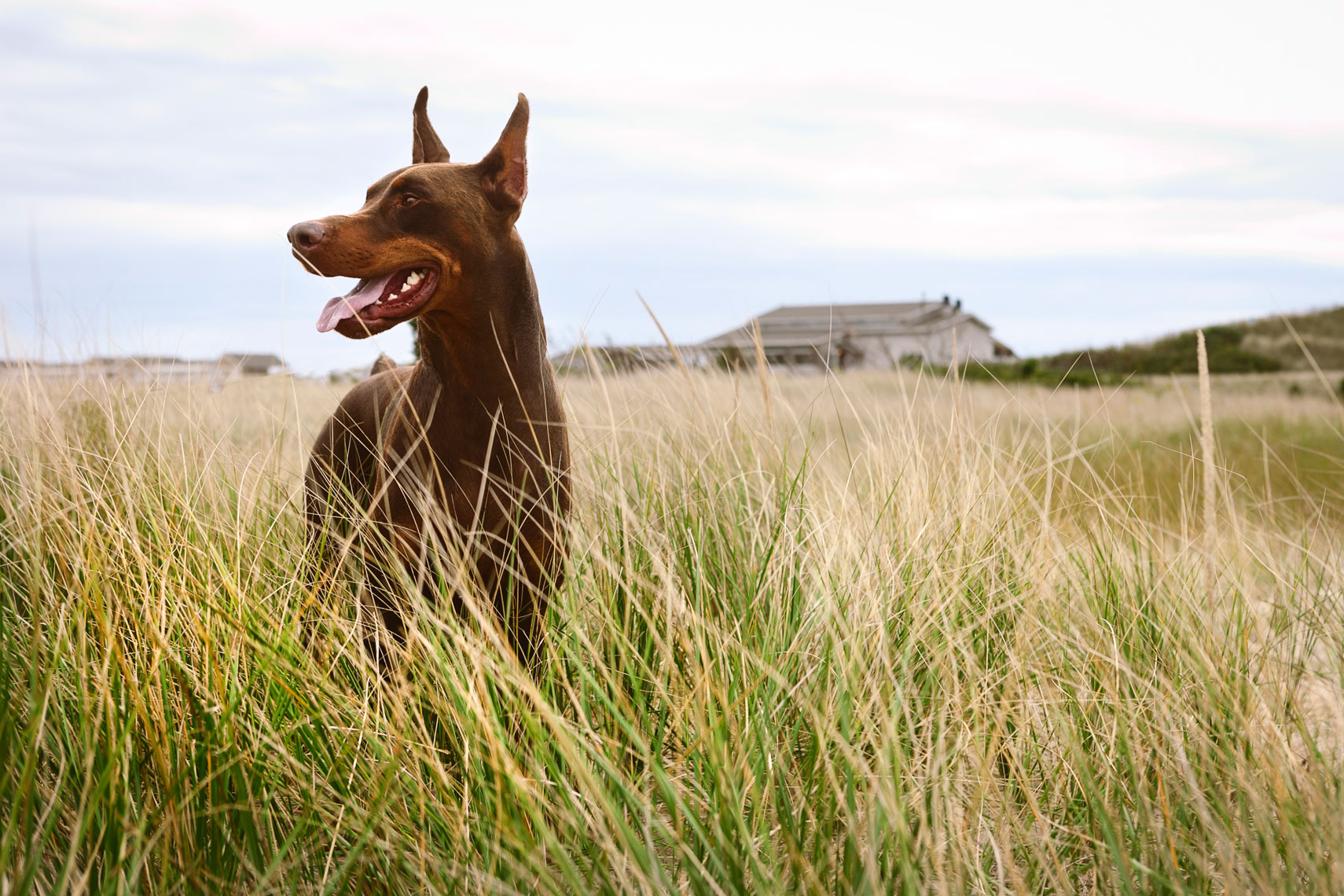 Doberman Pincher in tall grass during the summer having his picture taken.  Dog Photography