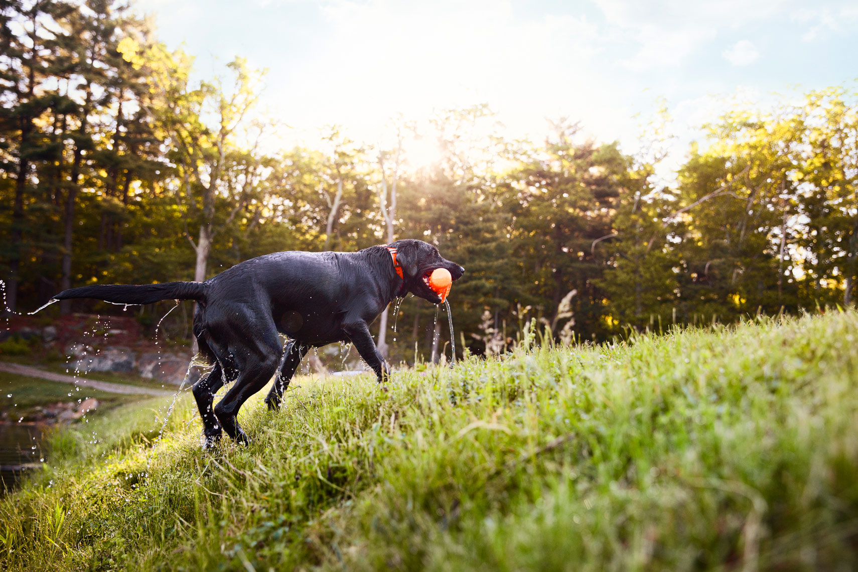 Black lab playing fetch with his owner. Dog photography
