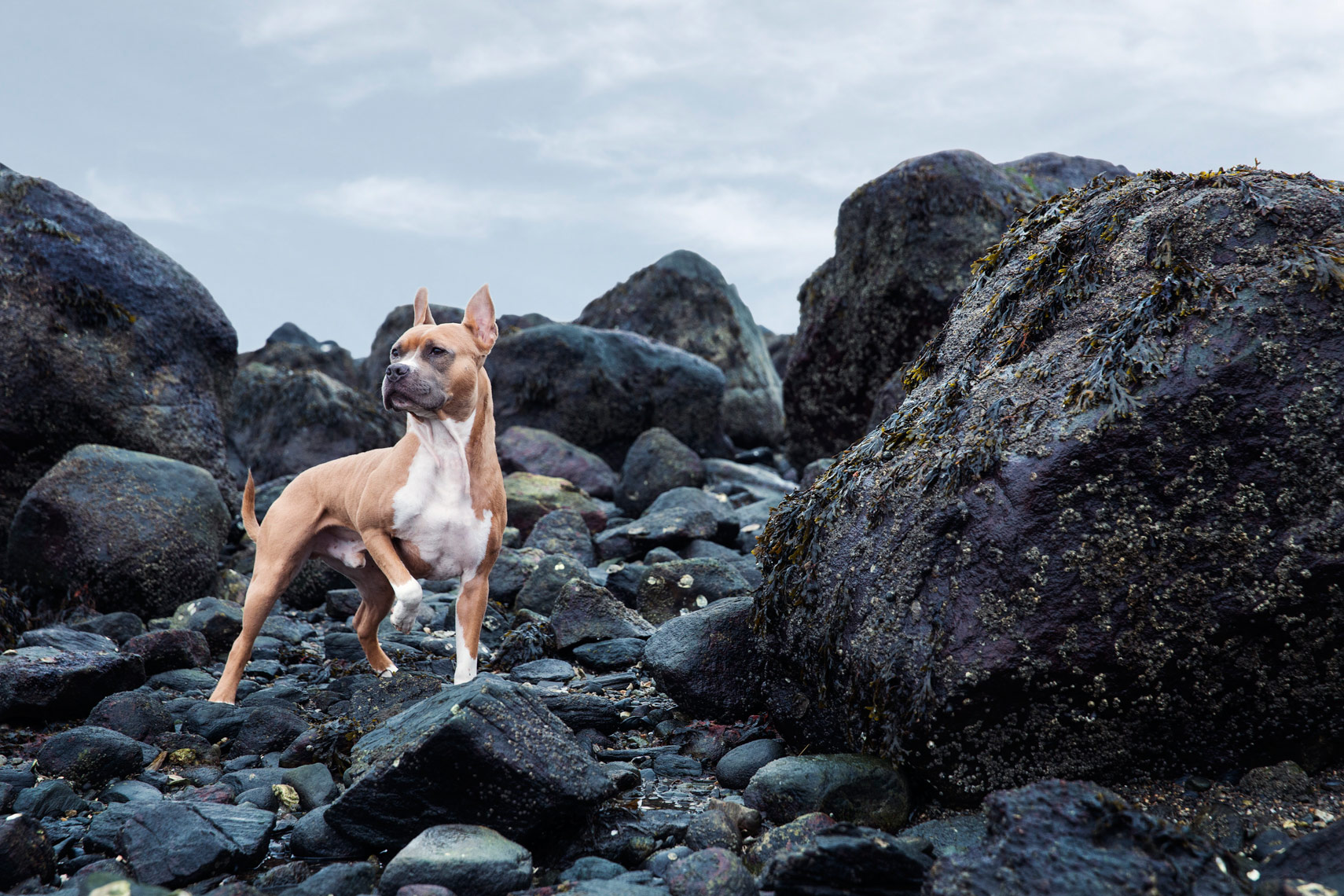 it bull boxer mix on a rocky beach on the U.S. Coast