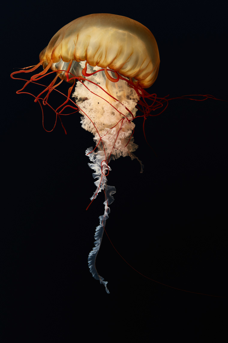 Full length of a Pacific Sea Nettle on a black background