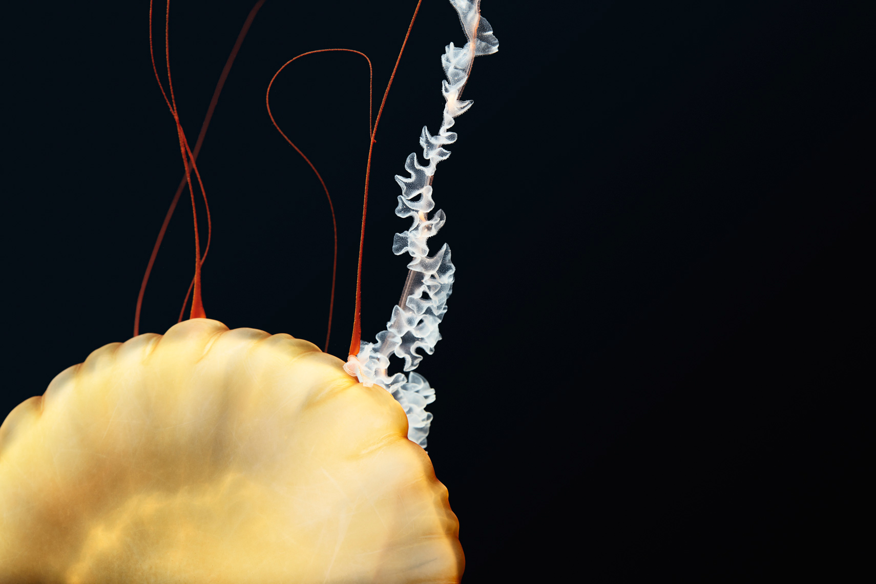 Detail of Pacific Sea Nettle