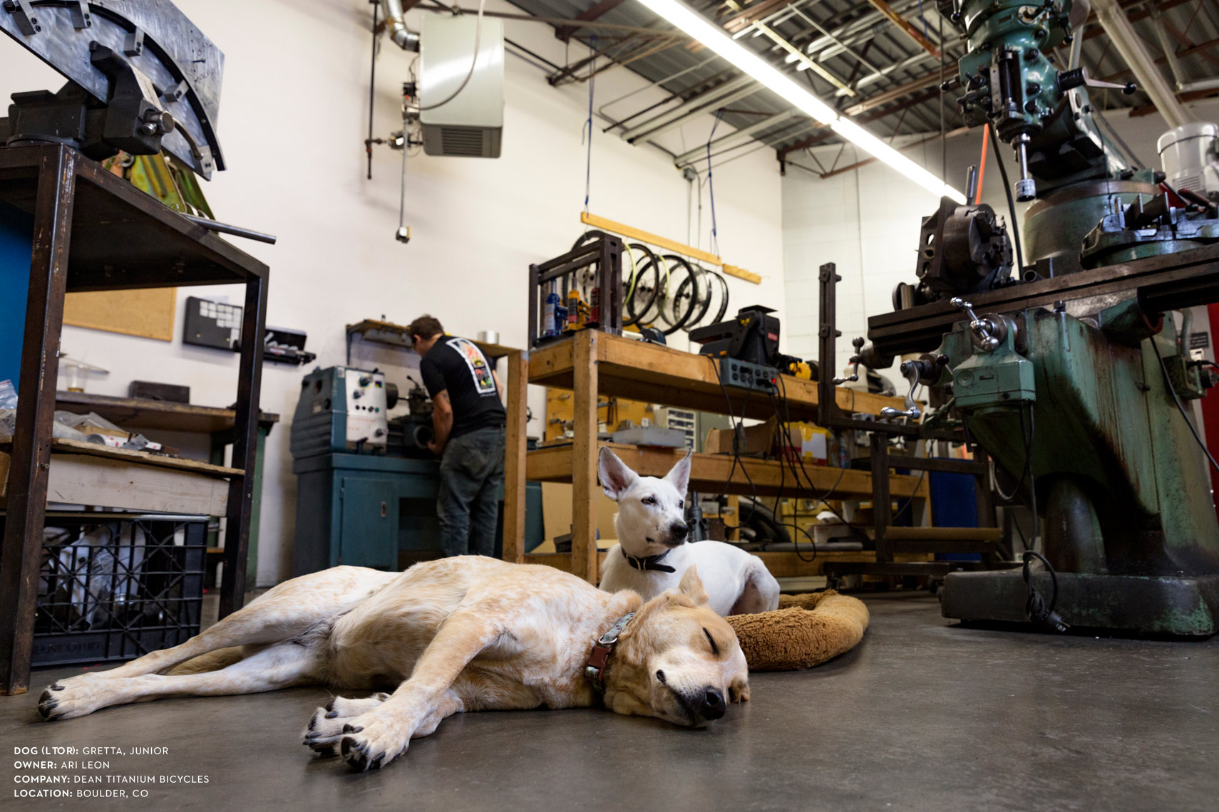 Dogs at work: Getta and Junior at Dean Titanium Cycles