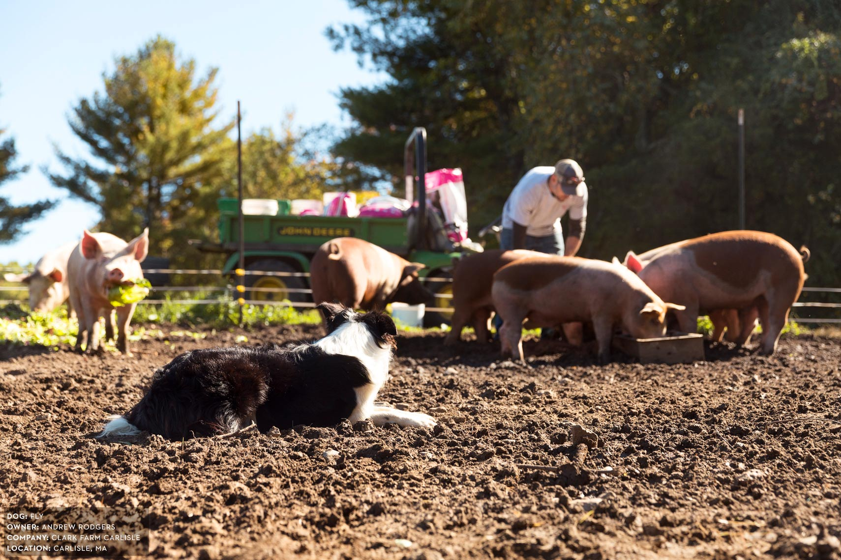 Dogs at Work: Fly herding pigs on Clark Farm Carlisle