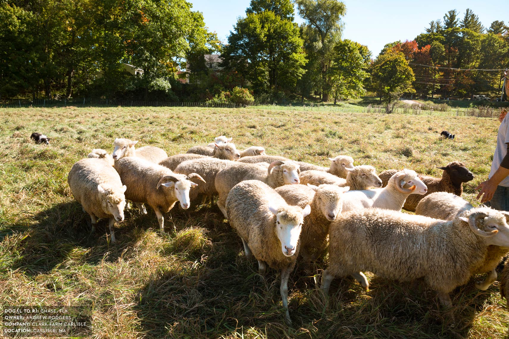 Dogs at Work: Fly and Chase herding sheep on Clark Farm Carlisle