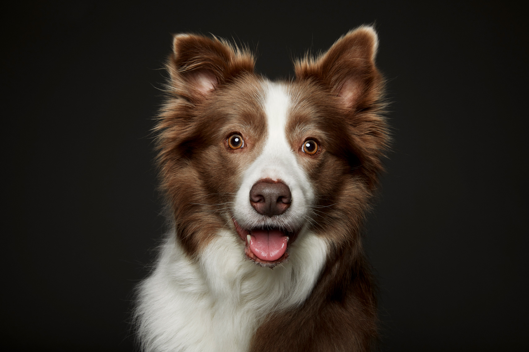 Beautiful Australian Cattle dog in studio portrait