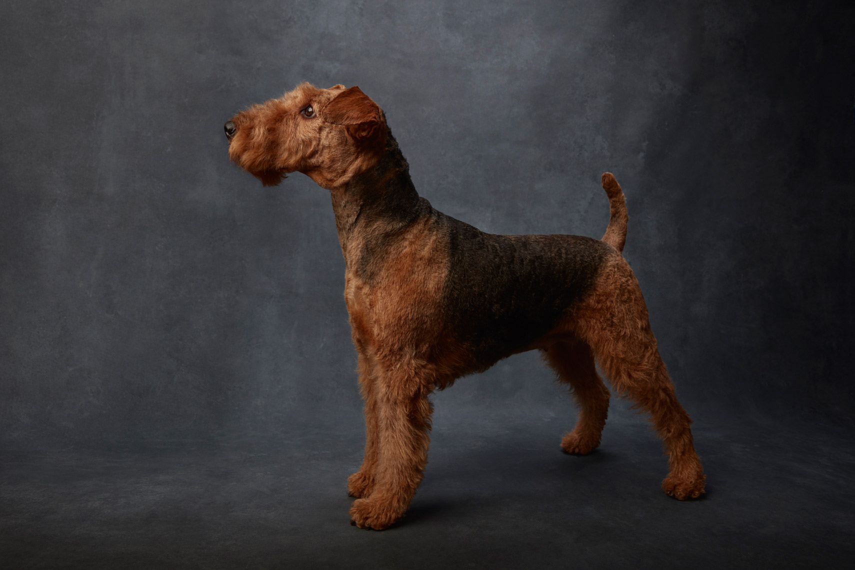 Airedale_Terrier_925