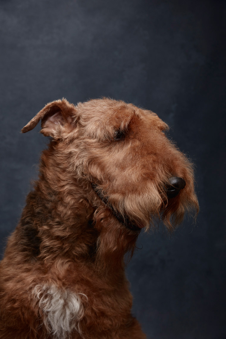 Airedale_Terrier_936