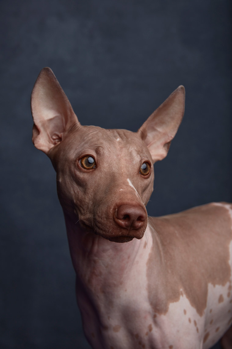 American_Hairless_Terrier_1178