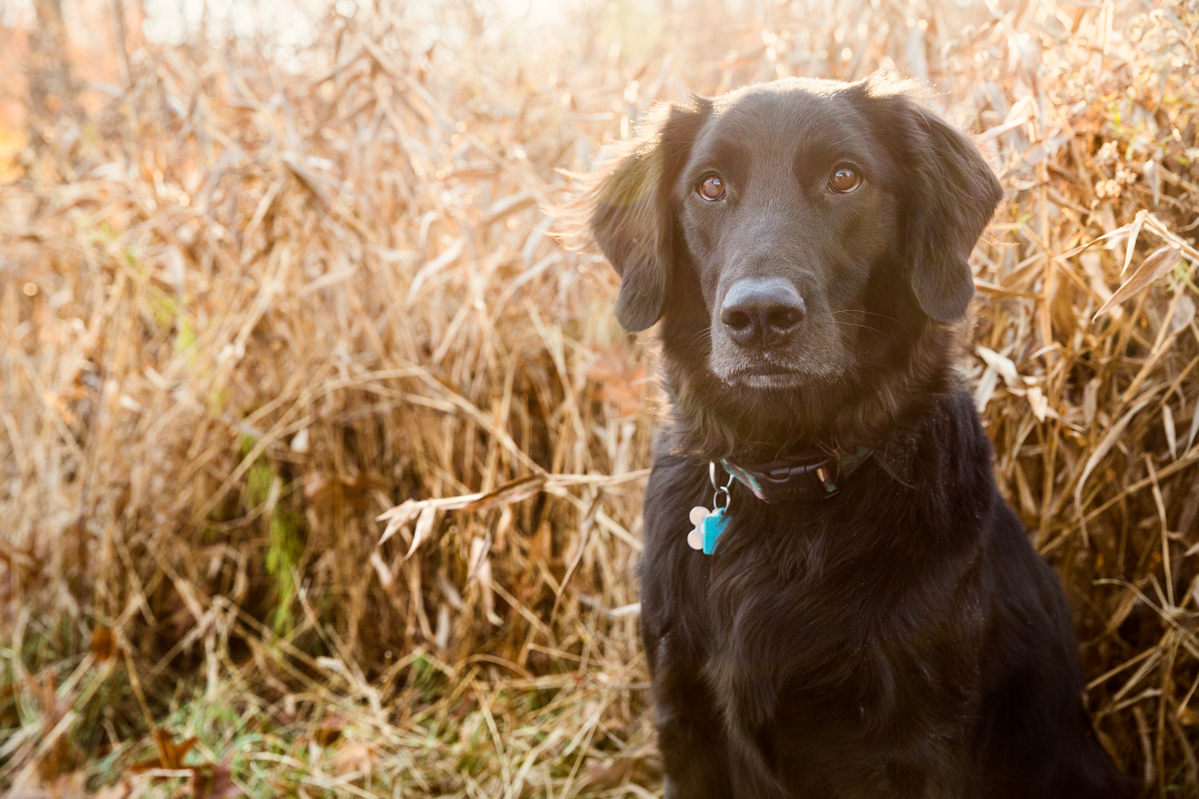 Labrador Retriever in a tall grass field
