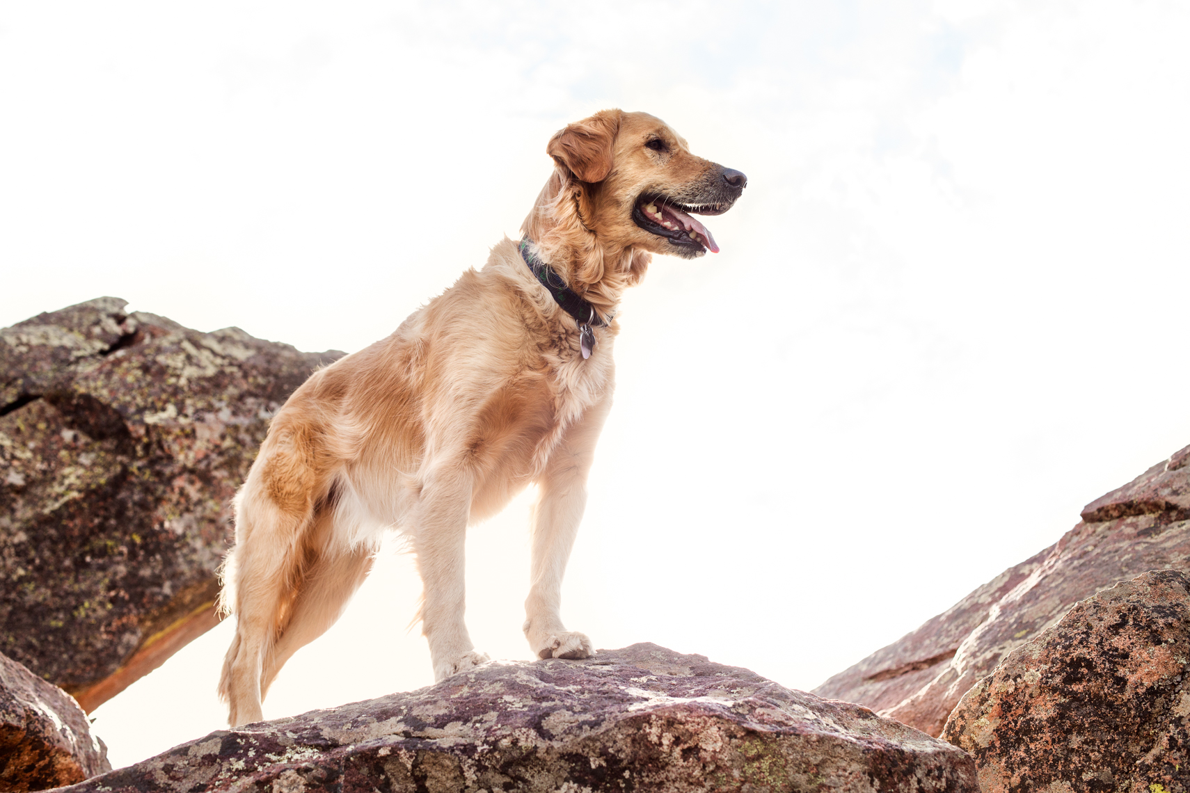Golden Retriever on top of the Flatirons in Boulder Colorado.  Dog Photography