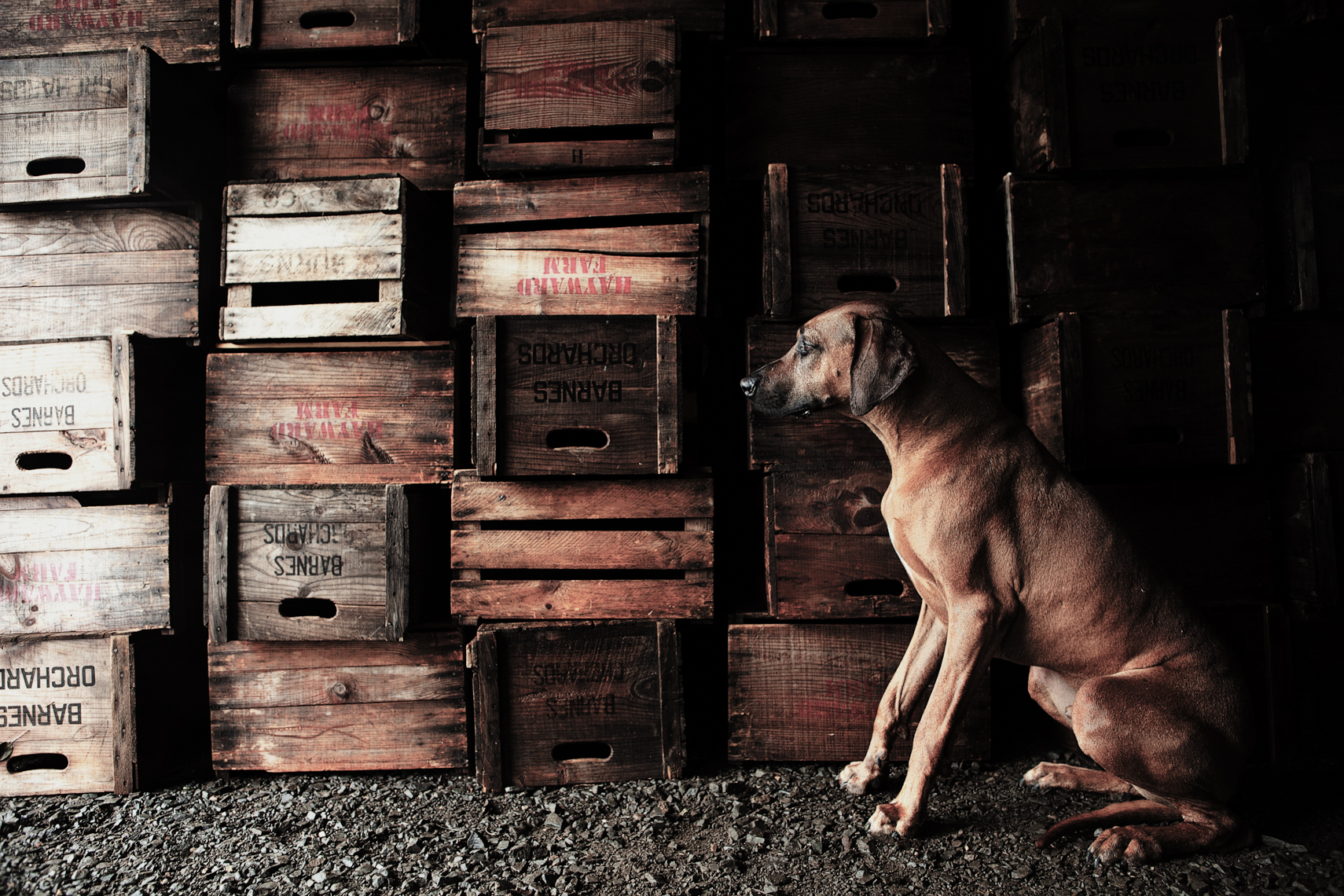 Rhodesian Ridgeback against apple boxes