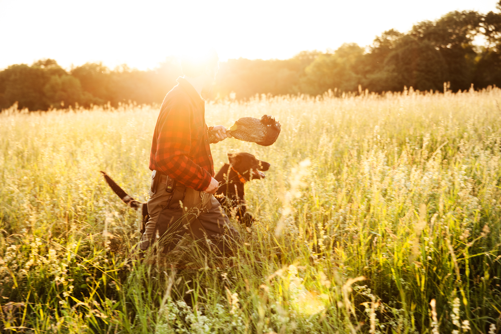 Early morning sun with an owner and his black labrador pheasant hunting