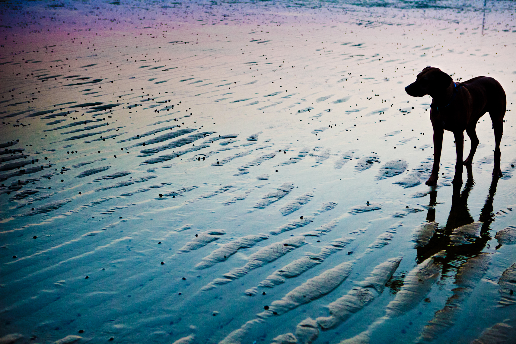 Sunset silhouette portrait of a dog on a beach during low tide
