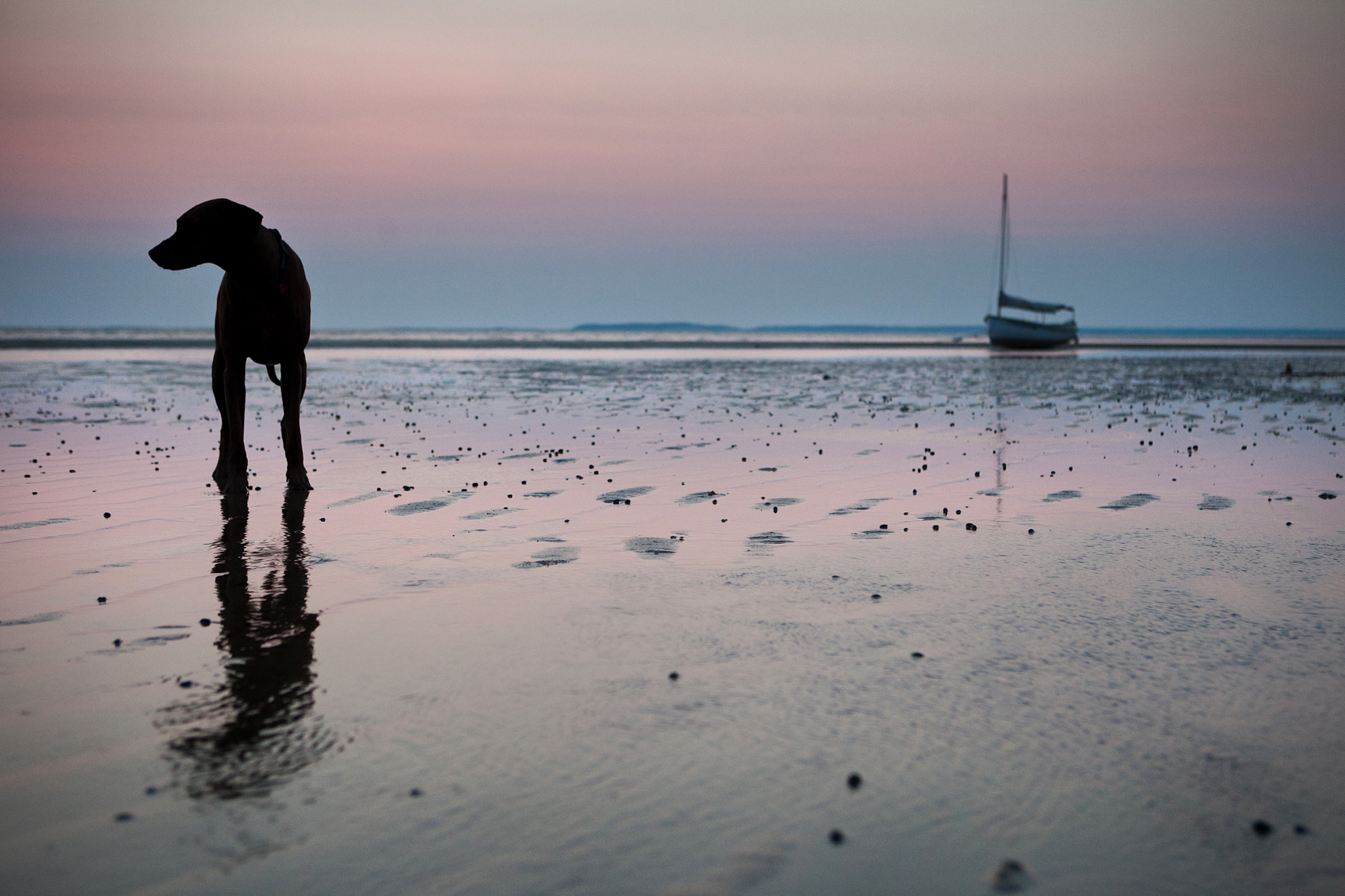 Silhouette of a dog during low tide
