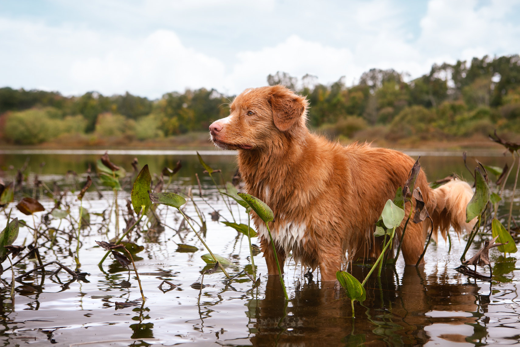 Nova Scotia Duck Tolling Retriever in a lake aw