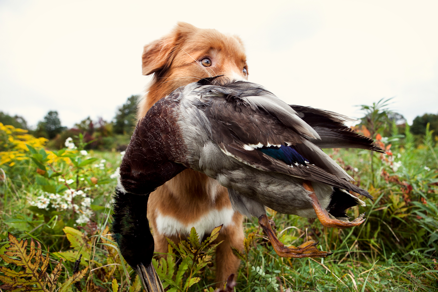 Nova Scotia Duck Tolling Retriever with a duck in his mouth