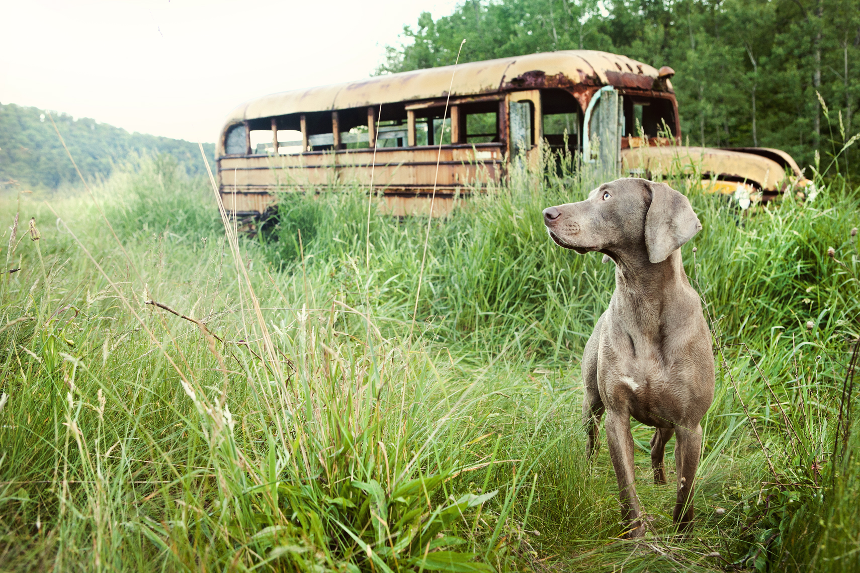 Weimaraner in a Pennsylvania field