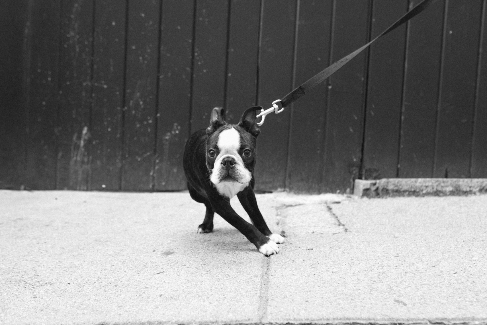 A Boston Terrier on the streets of Boston