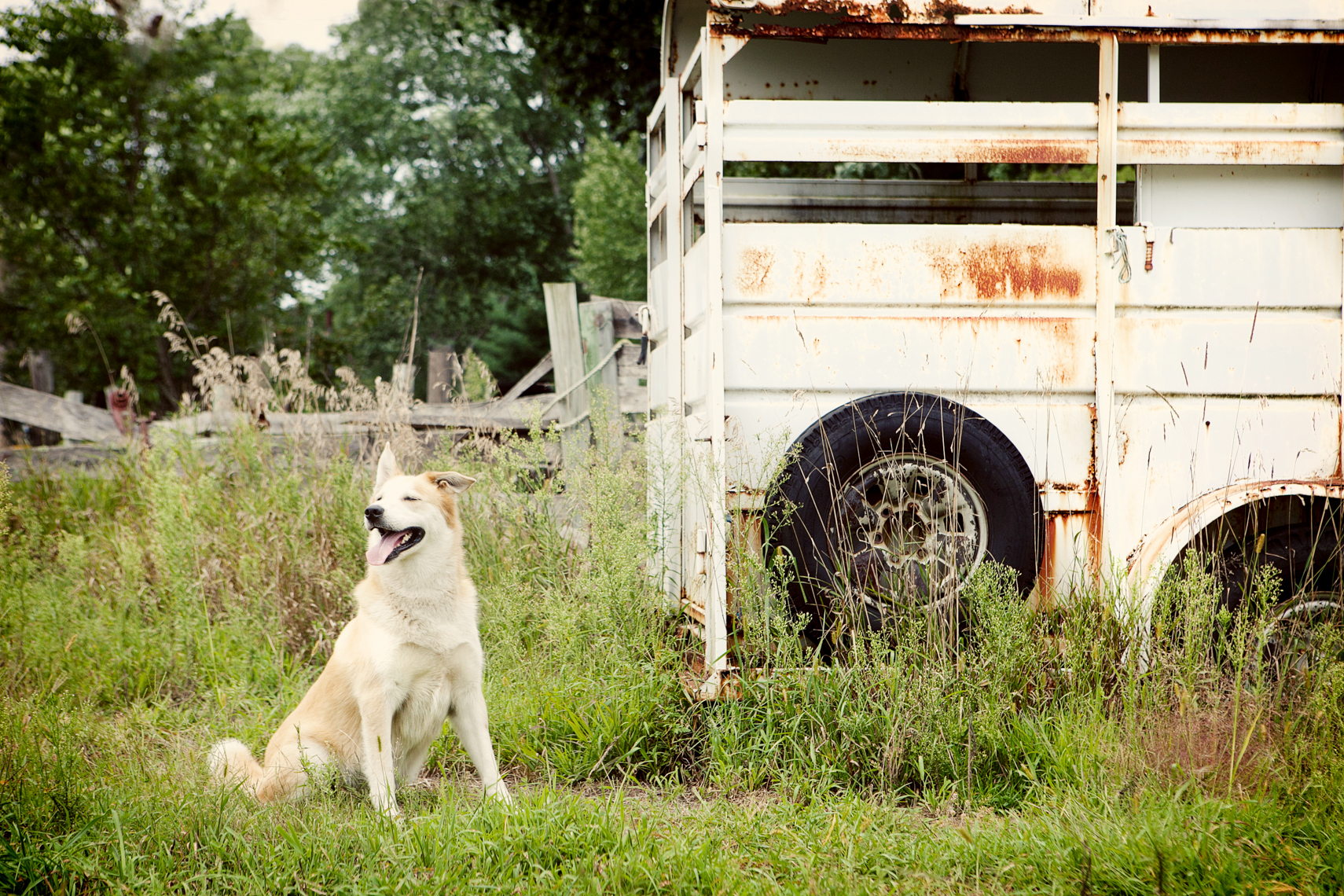 Farm dog in a field next to a horse trailer