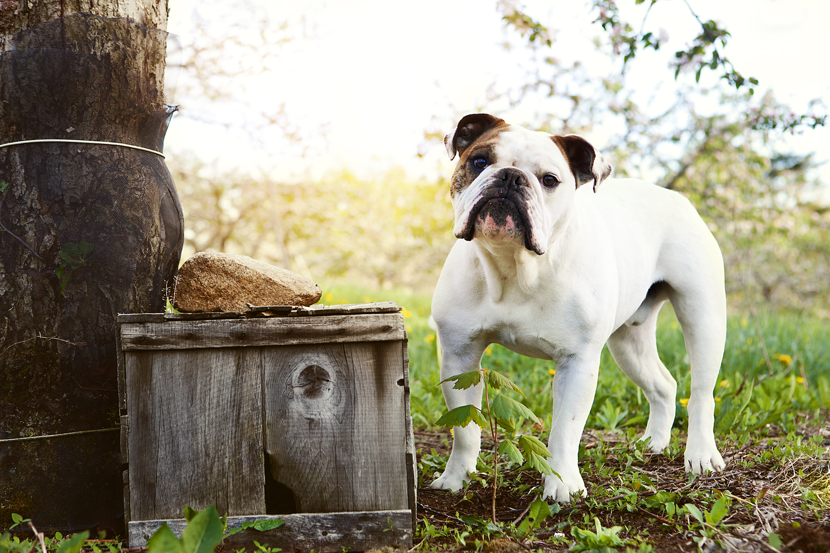 Bulldog portrait next to an orchard