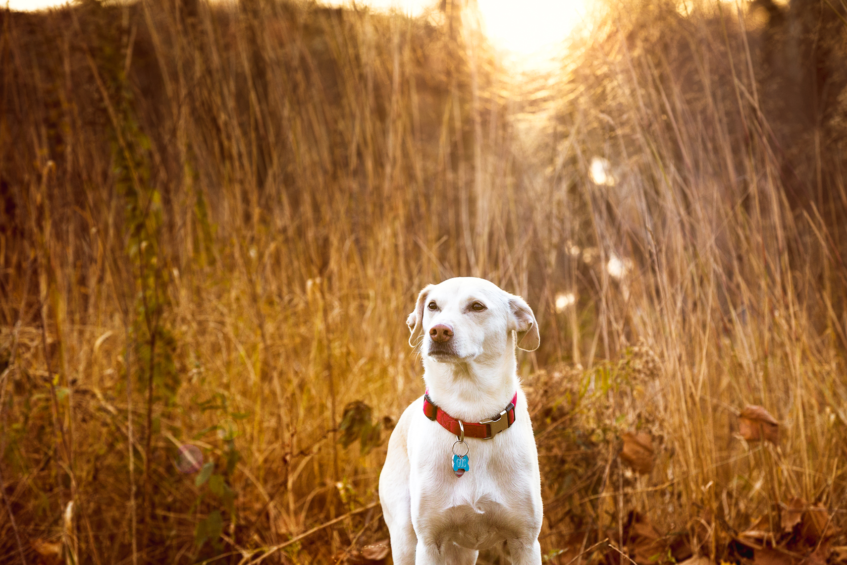 Sunset portrait of a lab mix in a field