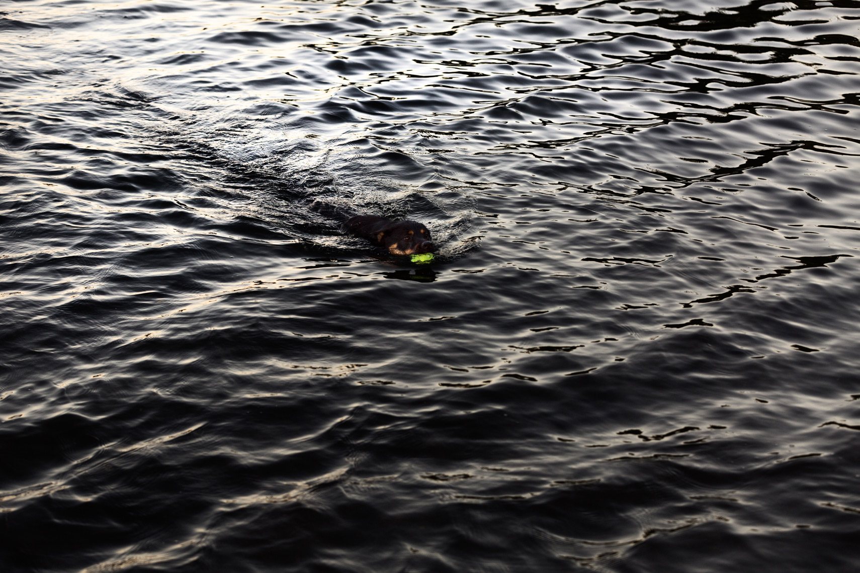 A dog swimming in a lake after retrieving  his ball