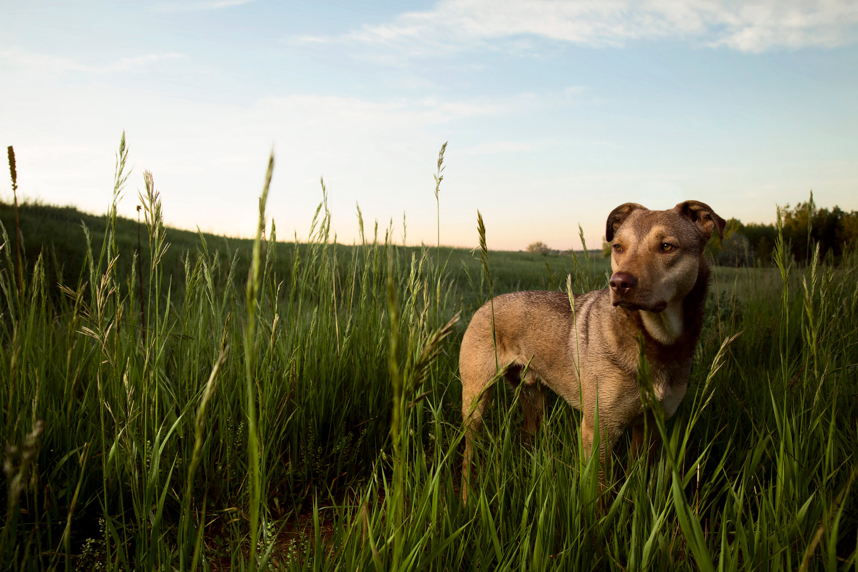 A rescued dog standing in tall grass in Boulder, Colorado
