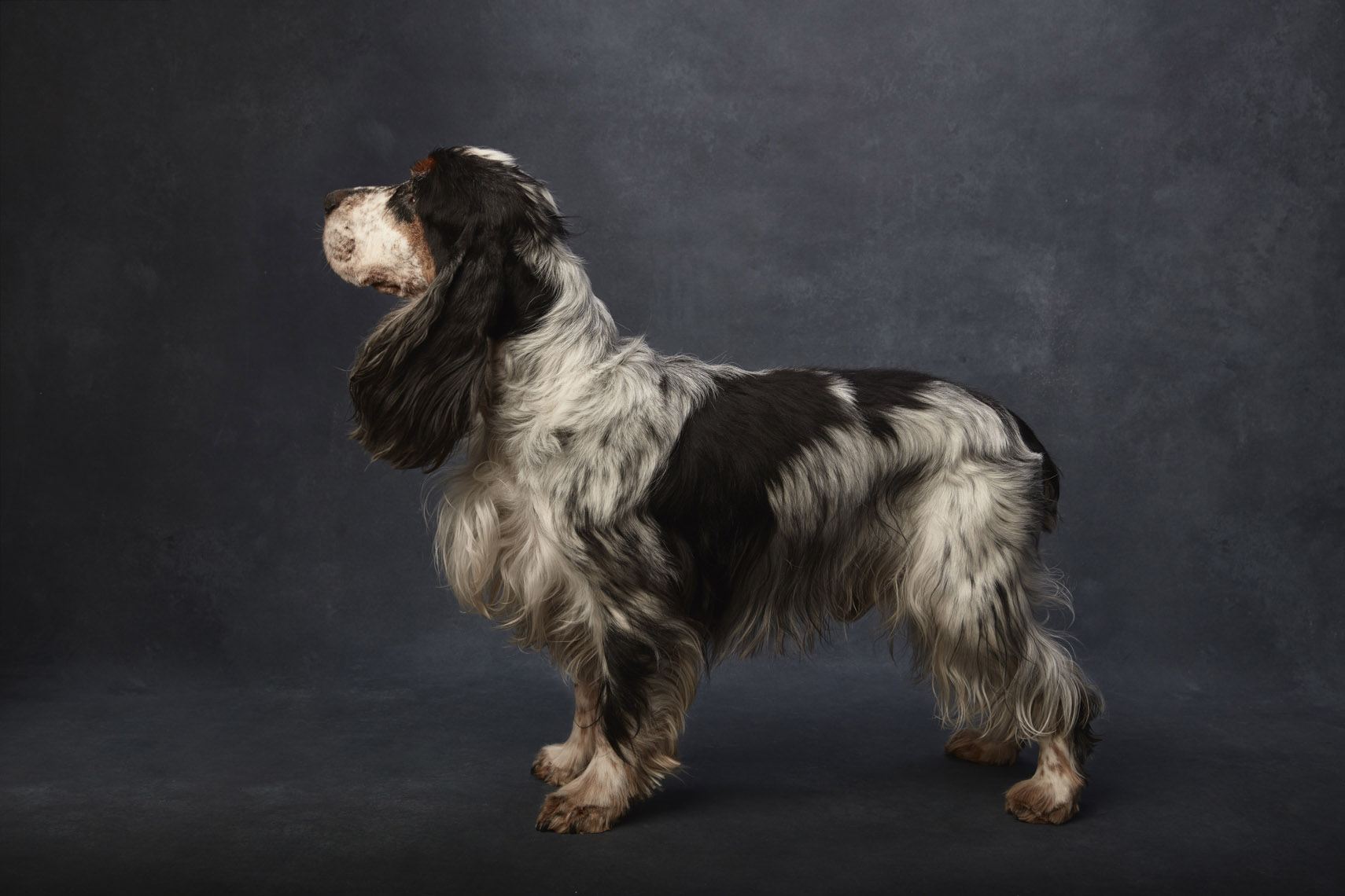 English_Cocker_Spaniel_Blue_Roan_Tan _1269
