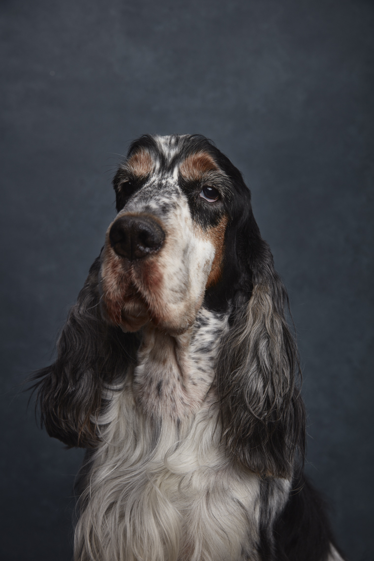English_Cocker_Spaniel_Blue_Roan_Tan _1287