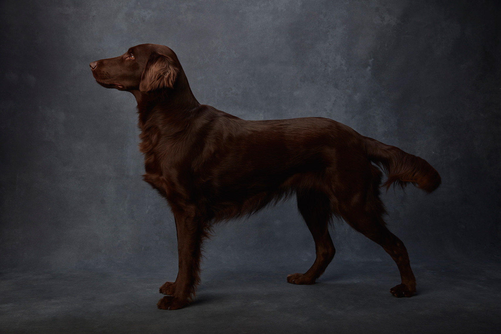 Flat_Coated_Retriever_030