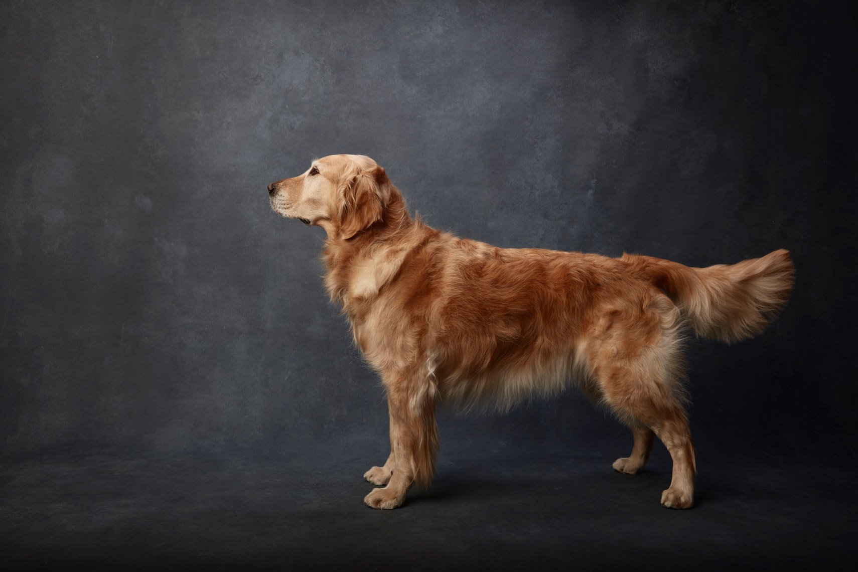 Golden_Retreiver_009