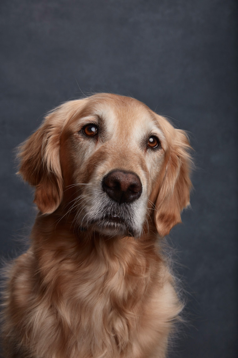 Golden_Retreiver_021