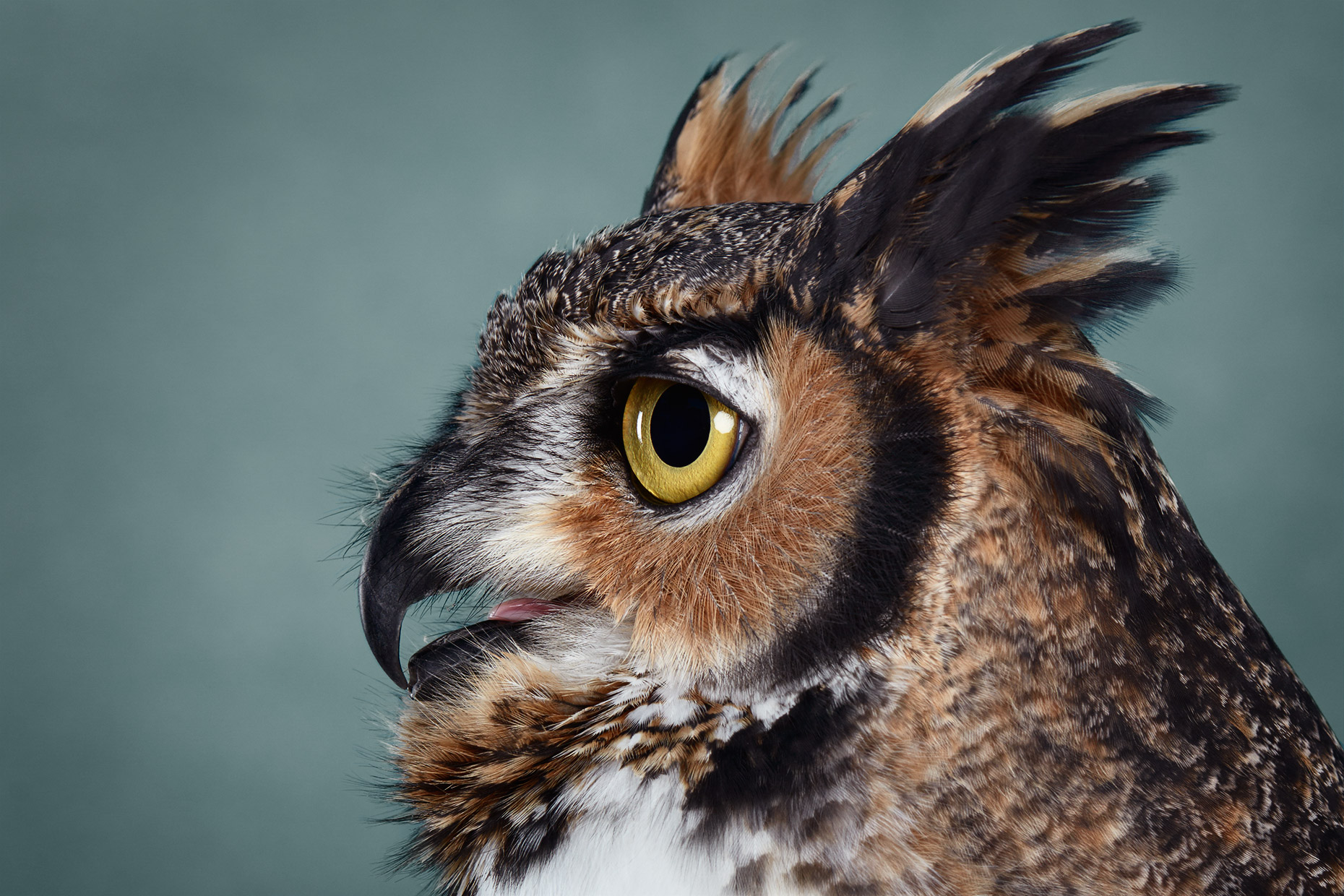 Profile of a Great Horned Owl