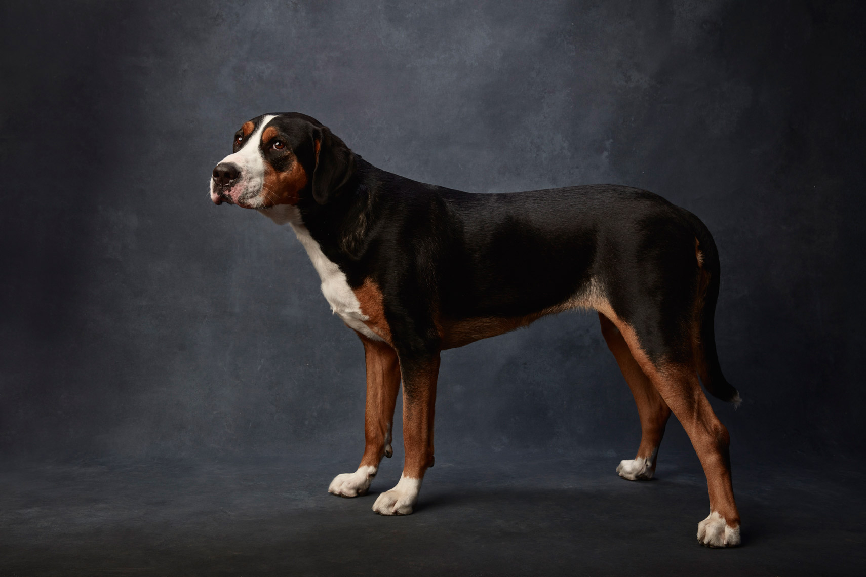 Greater_Swiss_Mountain_Dog_046