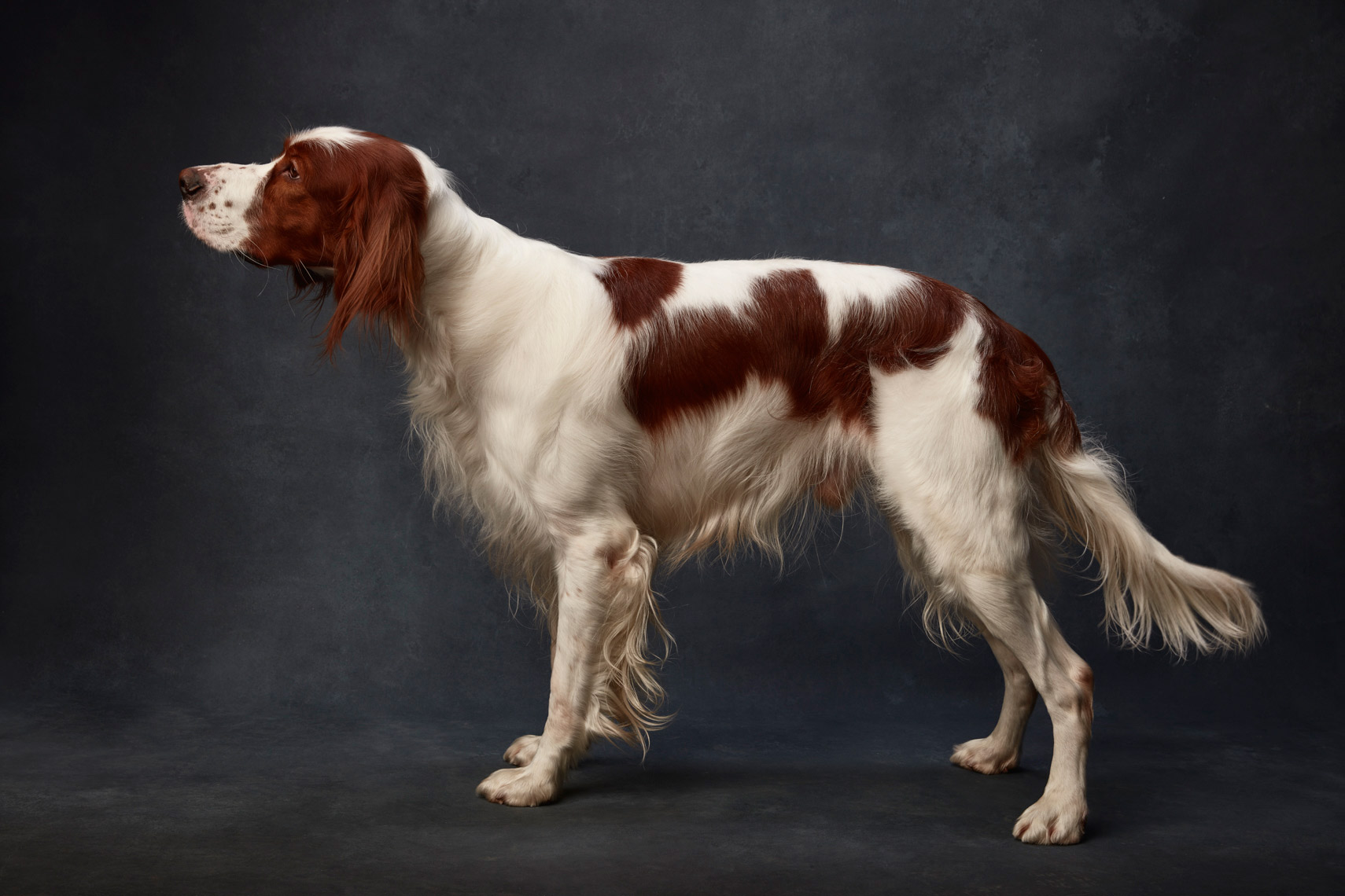 Irish_Red_white_Setter_016