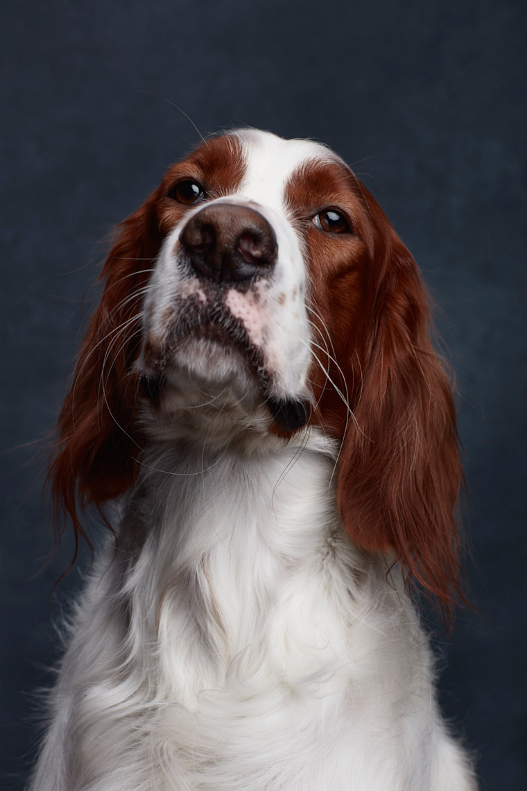 Irish_Red_white_Setter_030