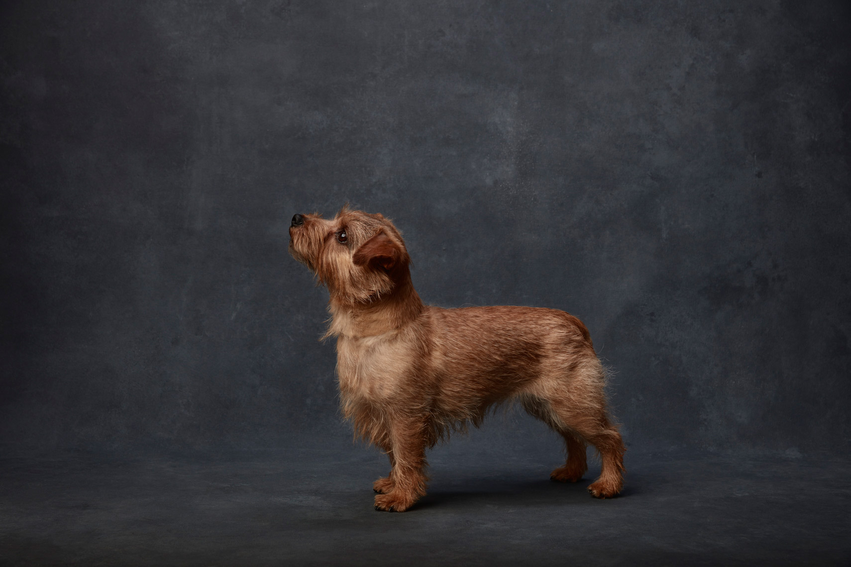 Norfolk_Terrier_039