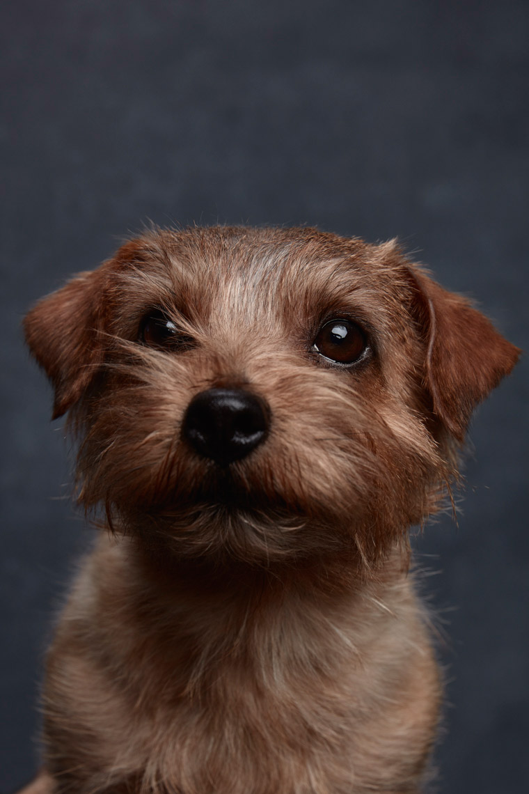 Norfolk_Terrier_059