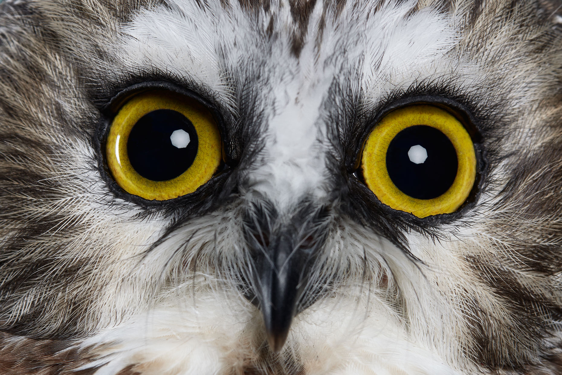 Close up of a Northern Saw Whet Owl eyes