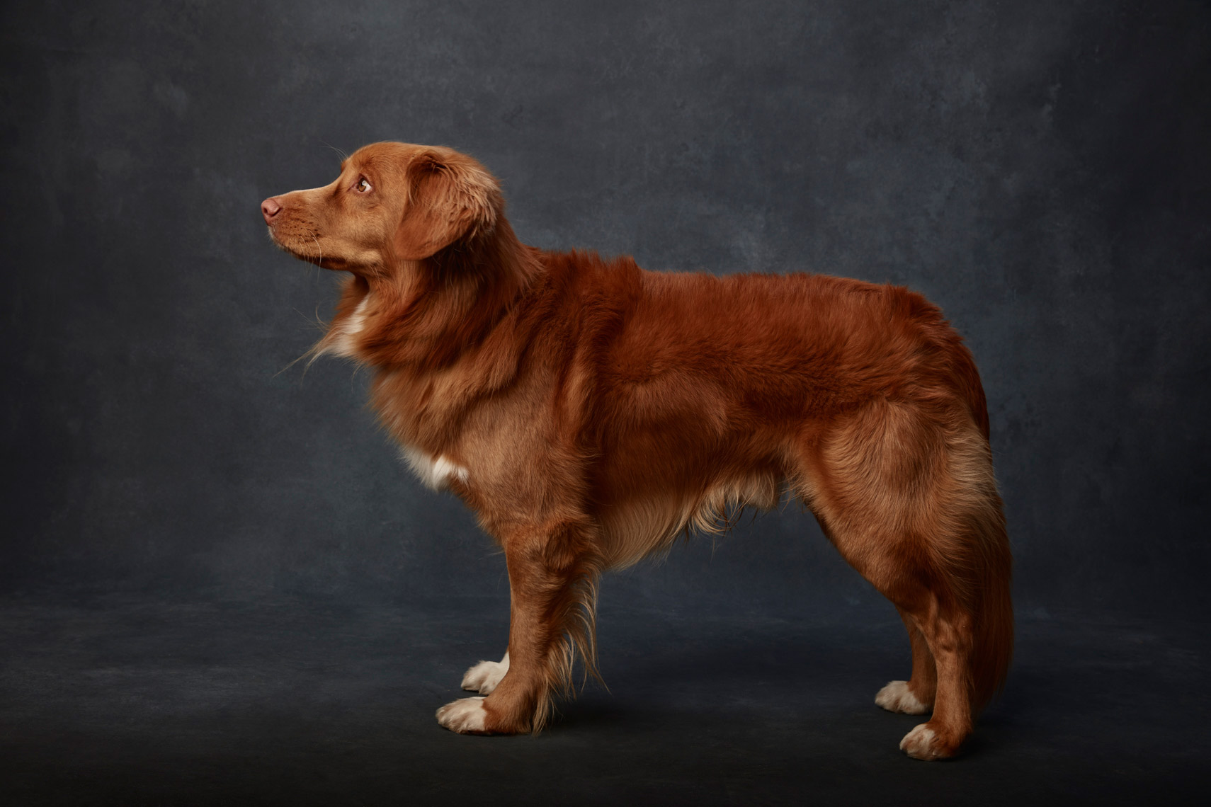 Nova_Scotia_Duck_Tolling_Retriever_010