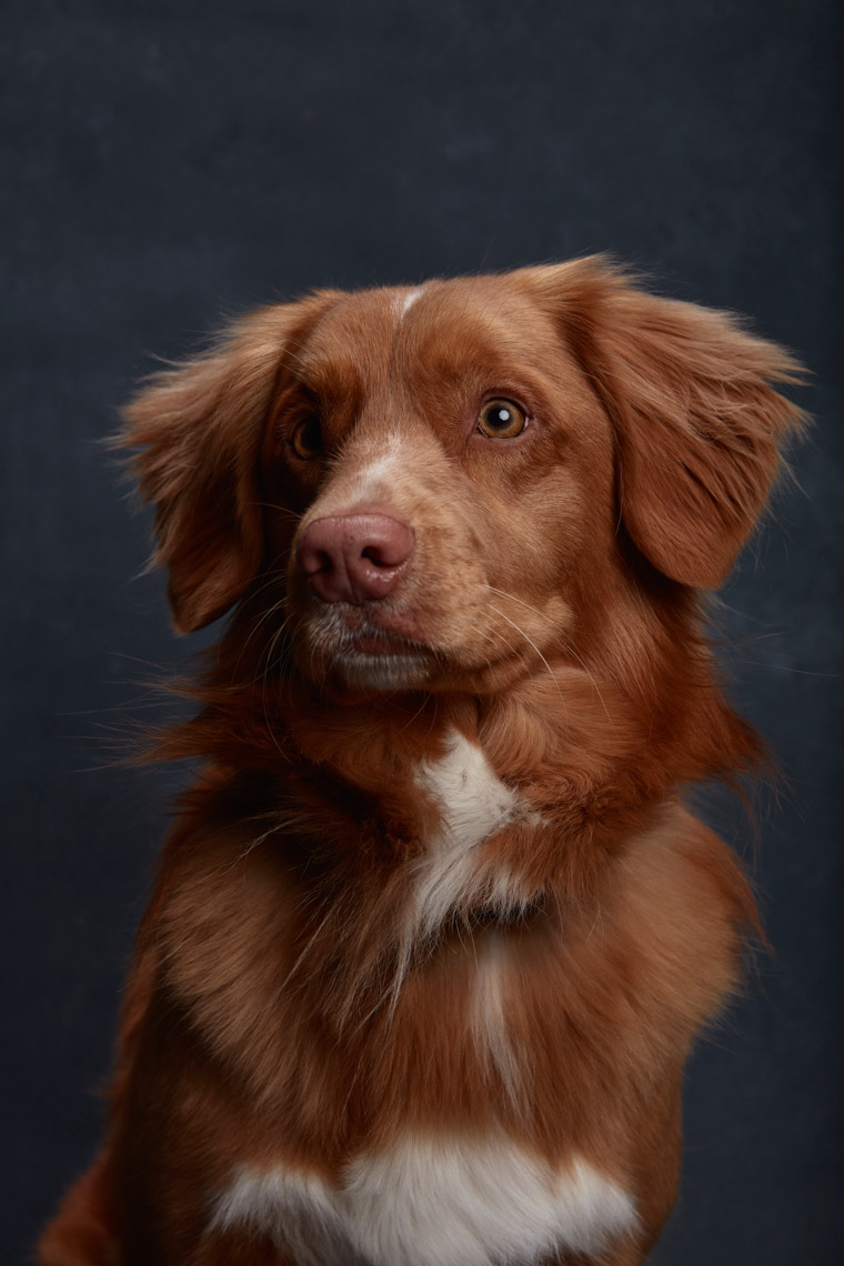Nova_Scotia_Duck_Tolling_Retriever_019