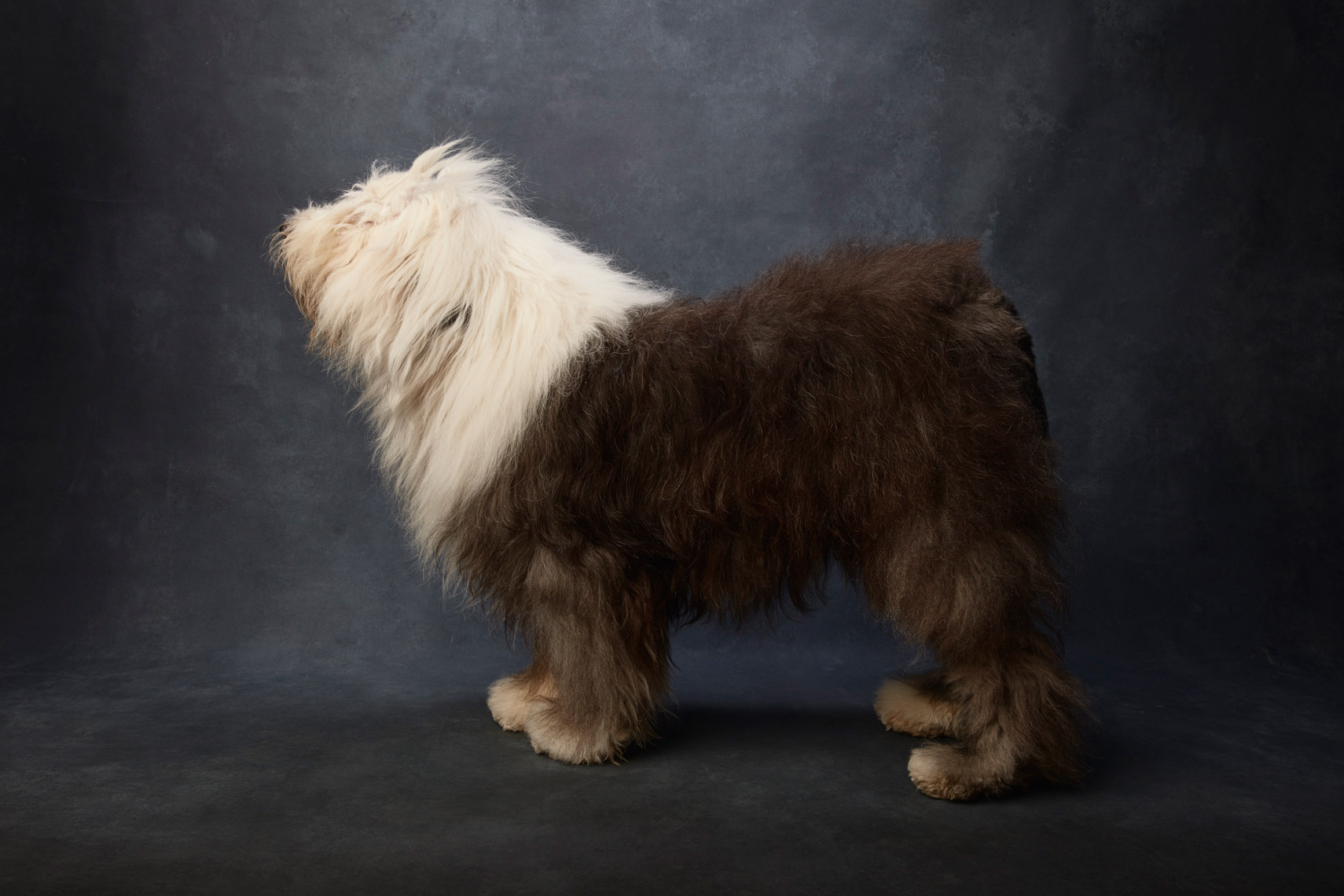 Old_English_Sheepdog_1238