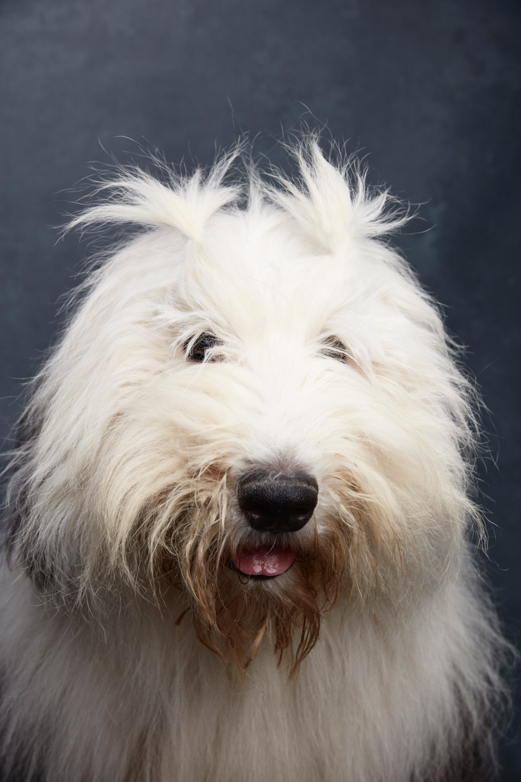 Old_English_Sheepdog_1250