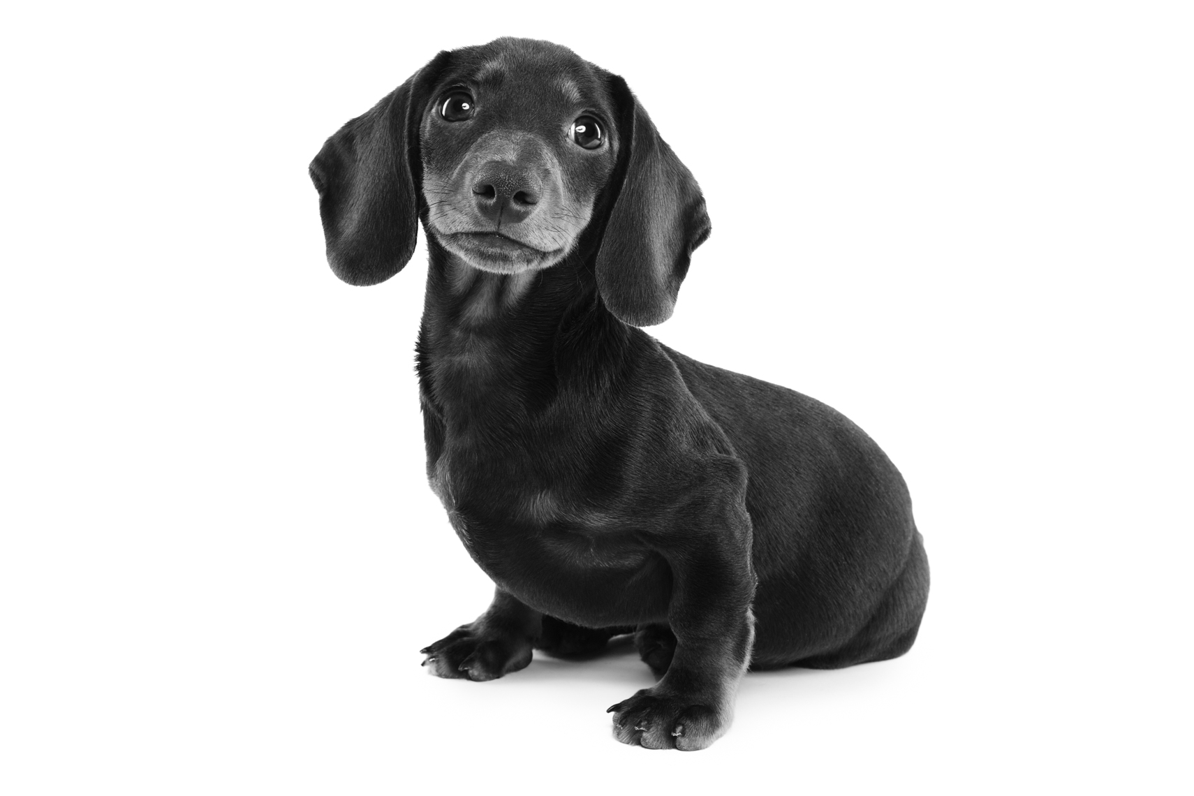 Black and White portrait of a dachshund