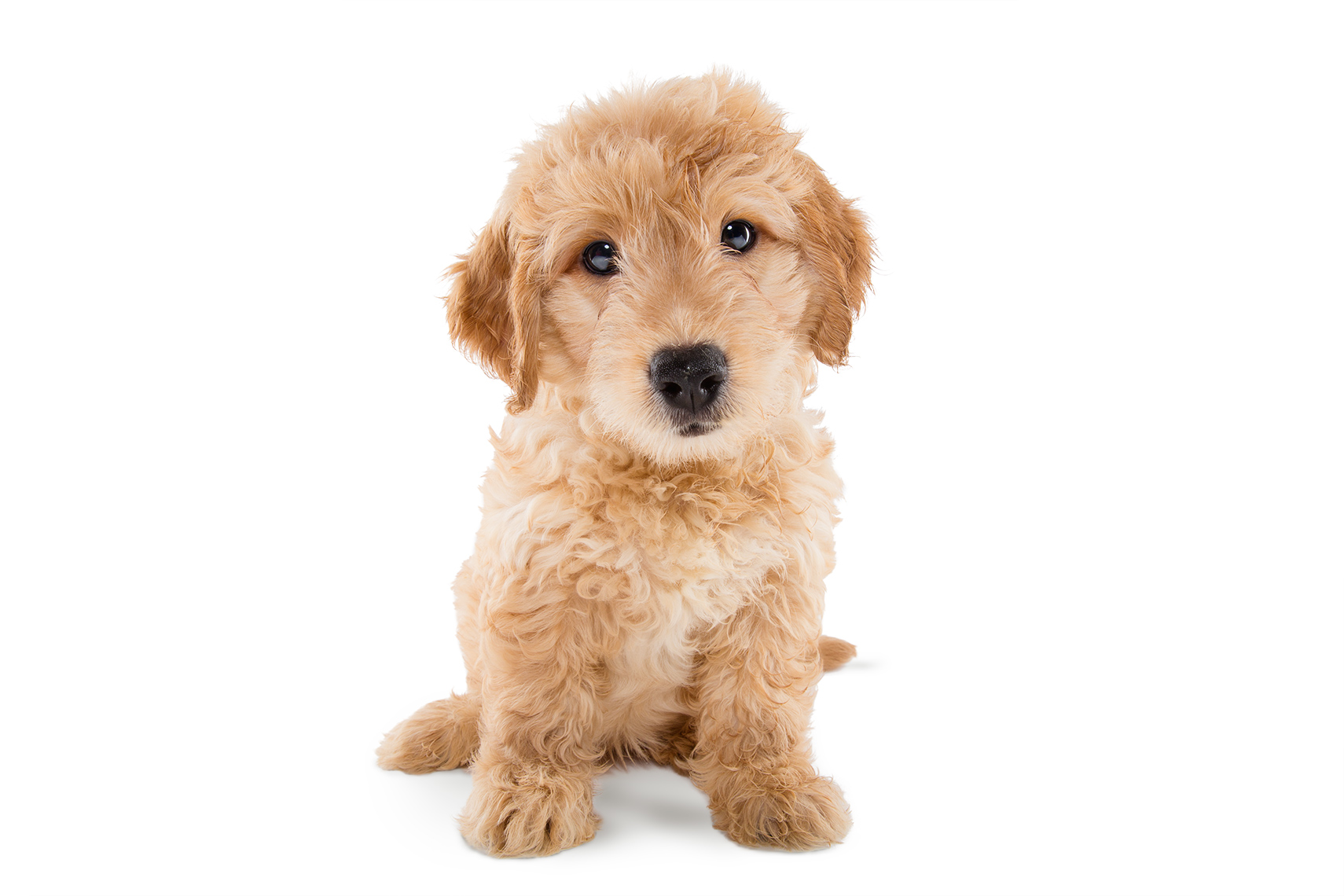A really cute golden retriever puppy in a studio environment posing for a camera