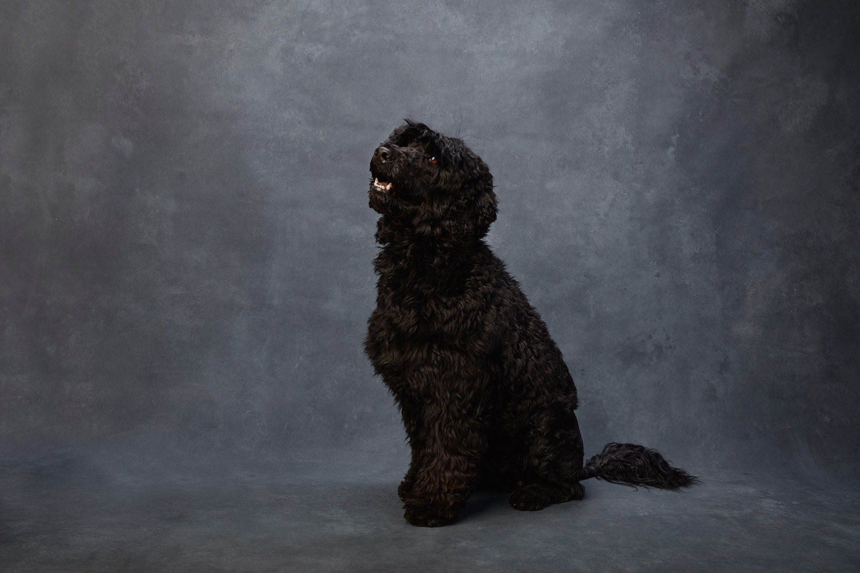 Portuguese_Water_Dog_008