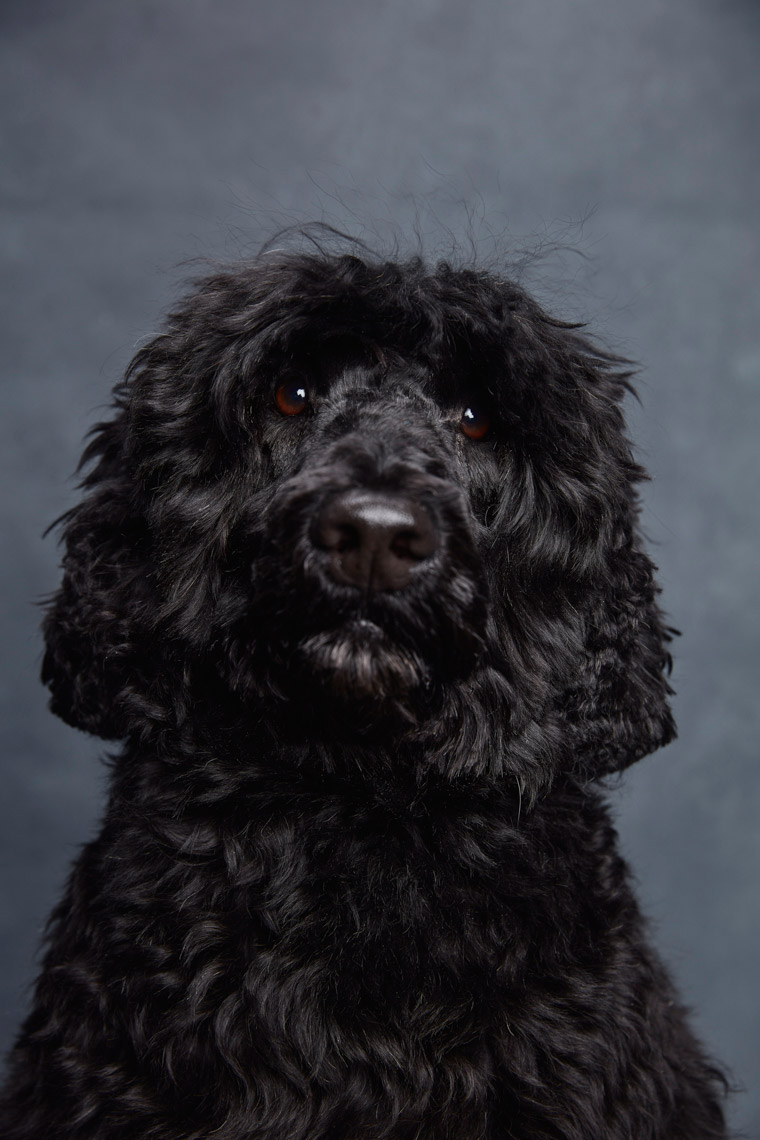 Portuguese_Water_Dog_025