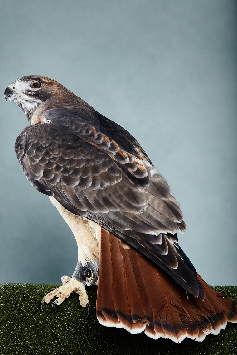 Red Tailed Hawk in studio