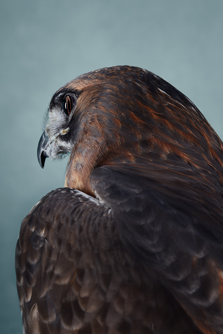 Detail portrait of a Red Tailed Hawk