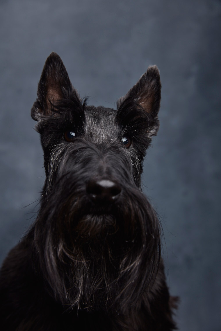 Scotish_Terrier_174